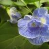อัญชันดอกซ้อนดอกซ้อนสีฟ้า, ซ้อนดอกสีชมพูเข้ม