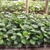 ต้นกล้ามอนสเตอร่า ไจแอนท์ (ราชินีไม้ใบ)