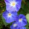 เมล็ดดอกผักบุ้งฝรั่งสีน้ำเงินเข้ม